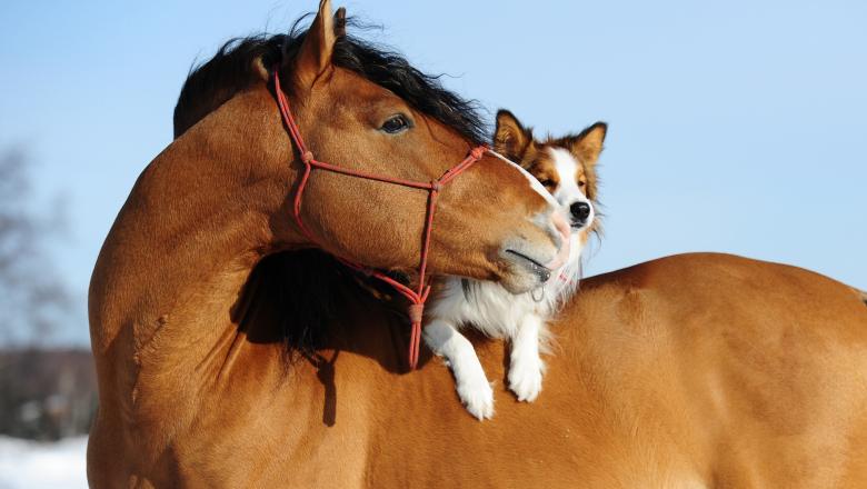 Häst med hund på ryggen